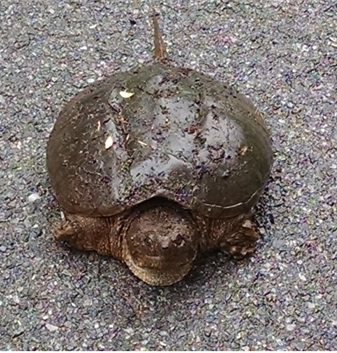 Snapping turtle on road after laying eggs